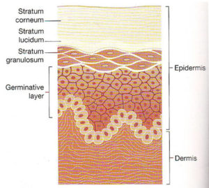 Epidermis Layers